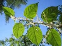 Comment réagir face aux renouées asiatiques (plantes invasives)?